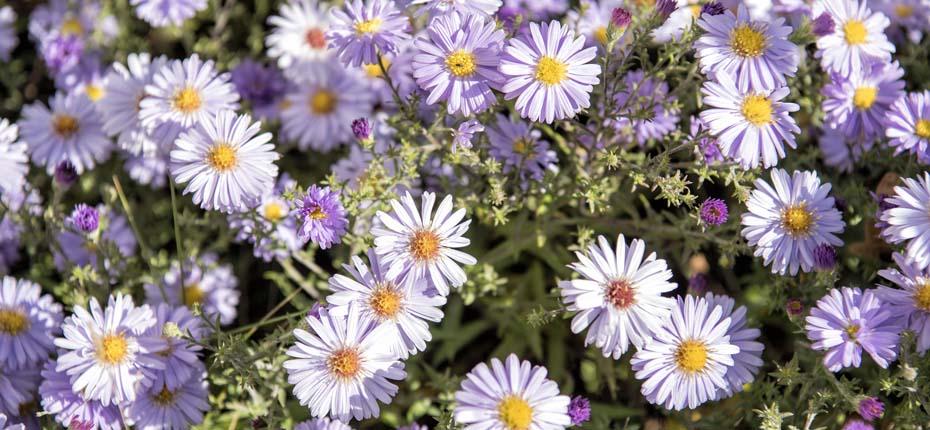 Dieses Bild zeigt Margeriten-Blumen im Sonnenlicht